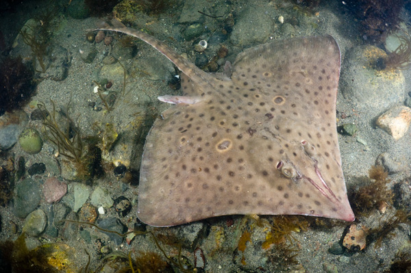 Image gallery skate animal for Skate fish facts