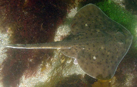 Elasmobranch fail from animal planet ya like dags for Skate fish facts