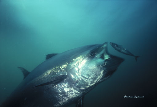 Declining predators eat mediterranean jellies ya like dags for What do tuna fish eat
