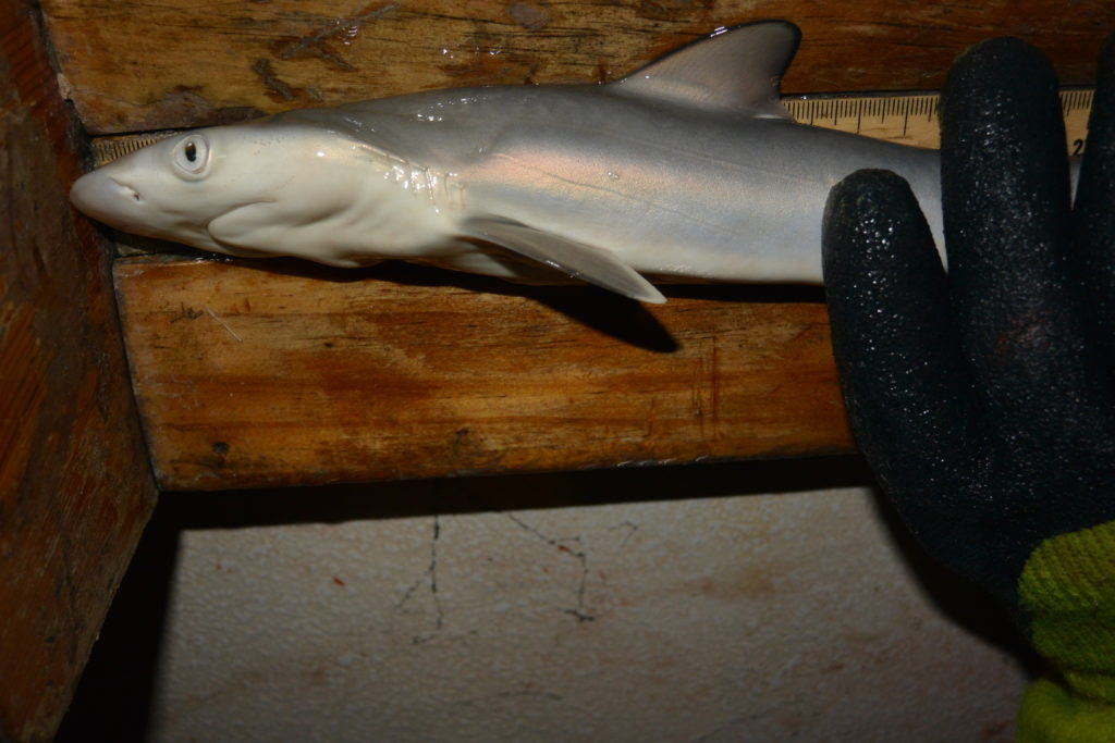 A literally newborn Atlantic sharpnose shark (Rhizoprionodon terraenovae), which turned out to be one of the most common sharks in the estuary. Photo by Cecilia Krahforst.