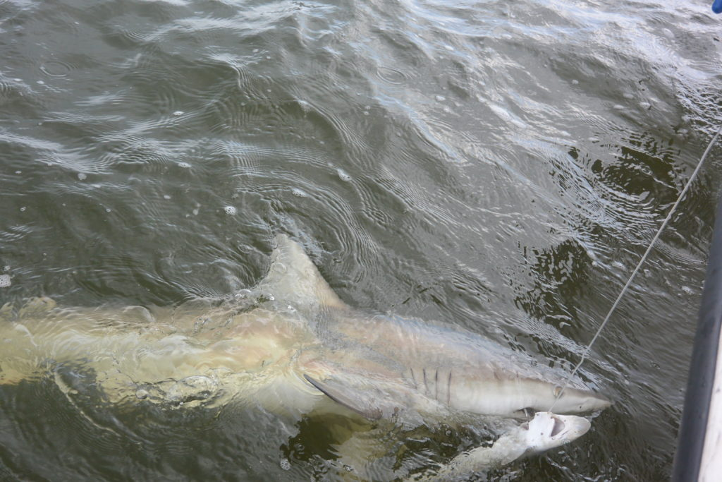Blacktip and sharpnose sharks had no problem occurring in the same areas, which didn't always work out so well for the sharpnose sharks. Photo by Cecilia Krahforst.