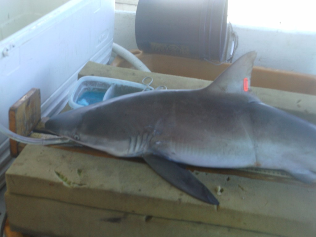 Dusky sharks are a species of concern for NOAA, since their slow growth and late maturity is causing them to recover from overfishing at a snail's pace.  On the flipside of that extreme life history, they're born enormous.  This nearly 4-foot female is not far off from size at birth for this species.